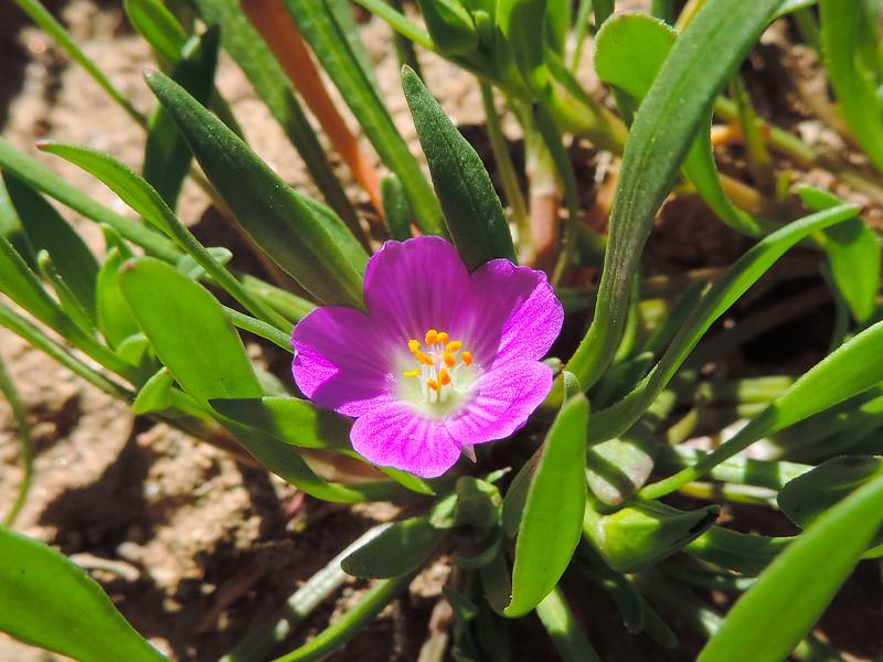 Redmaids (Calandrinia ciliata) MONTIACEAE