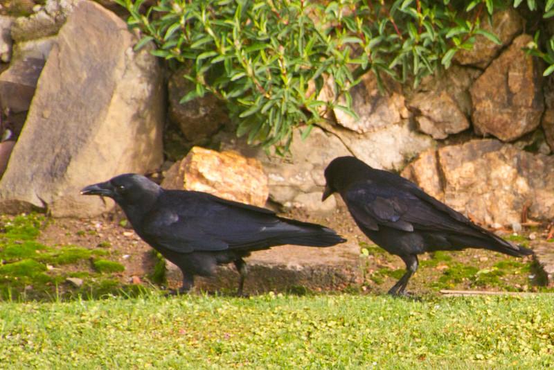 Backyard_Birds-Mar2012-26.jpg
