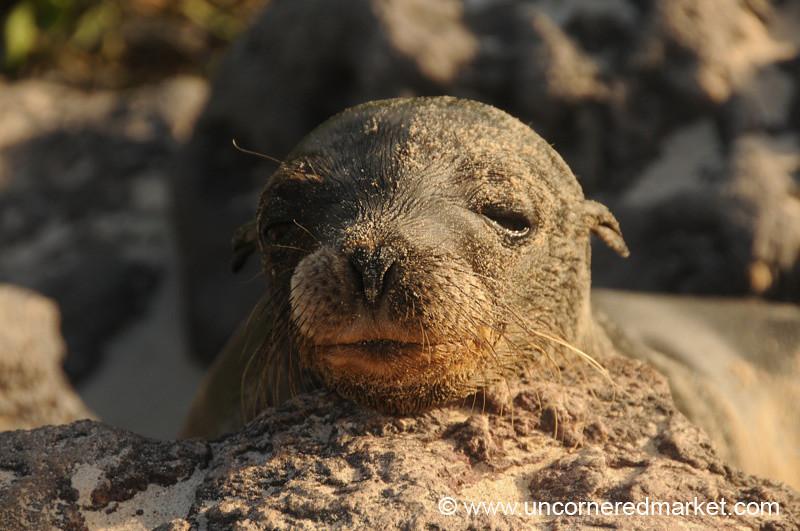 Sea Lion, Sweet Face - Galapagos Islands