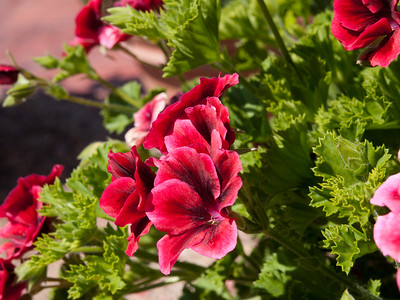 Geranium (Regal) - Candy Flowers Bright Red