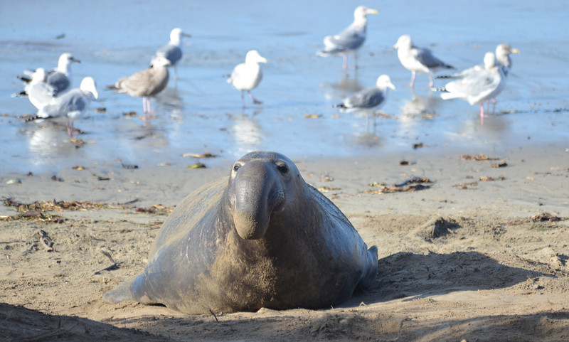 ano-nuevo-elephant-seals-2013 26.jpg