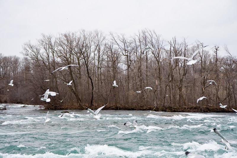 Birds and the Niagara River, New York