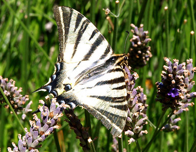 Papilioninae - Swallowtails