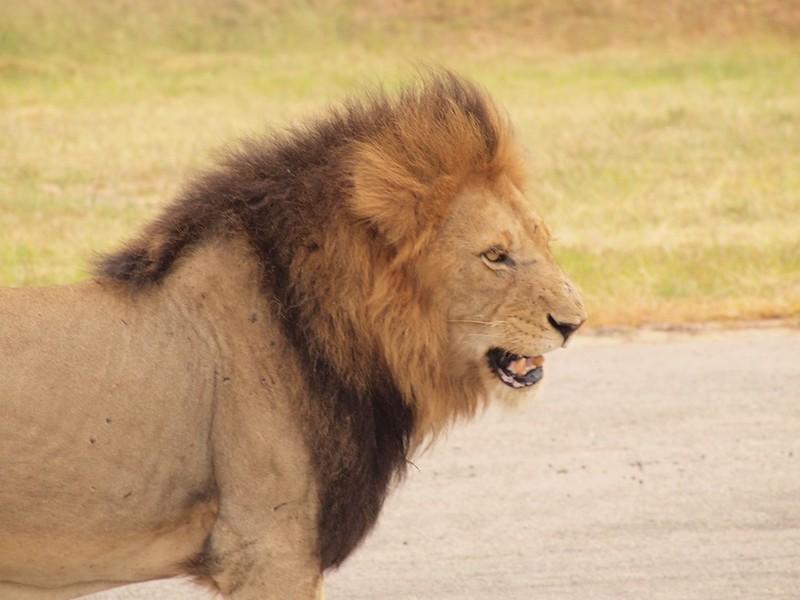 Lion King - Swenson