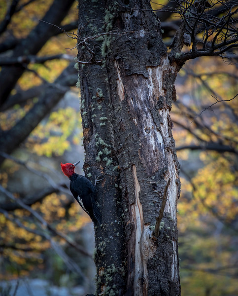 Patagonain Woodpecker, El Chalten-3.jpg