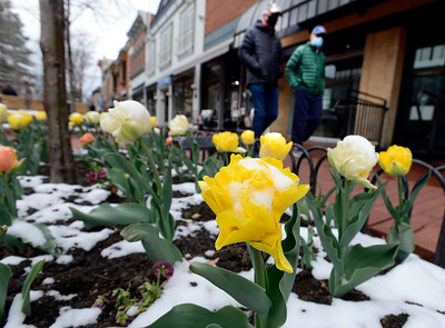 Photos: A light Snow Collects on the Flowers on the Pearl Street Mall