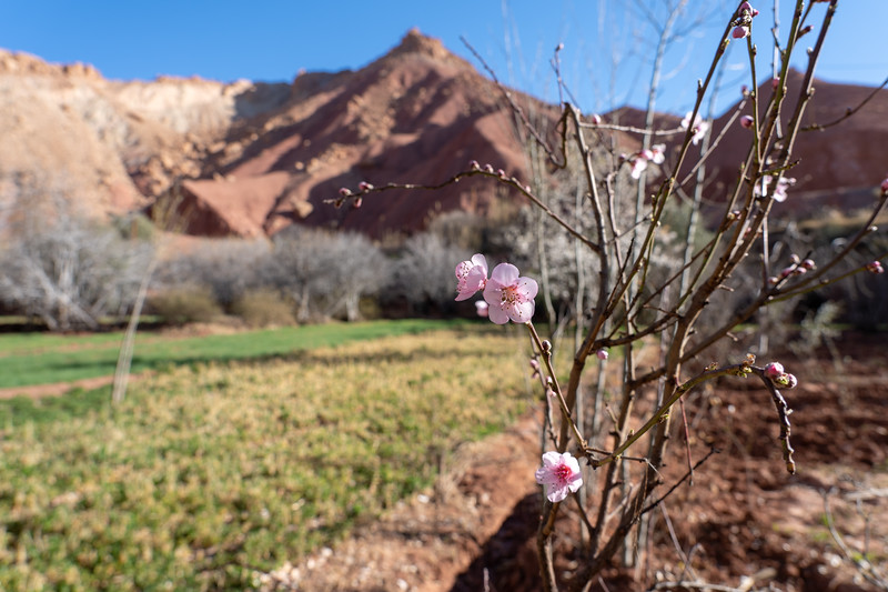 Spring in the Rose Valley, Morocco