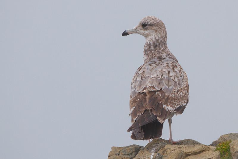 Ring-billed Gull - Richmond, CA, USA