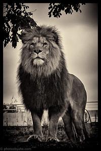 Spin-Off til dyrene i Zoo - Løverne