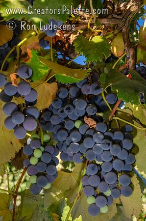Niabell Grape - Vitis labrusca