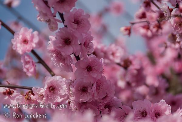 Blireiana Flowering Plum (Prunus x blireiana)