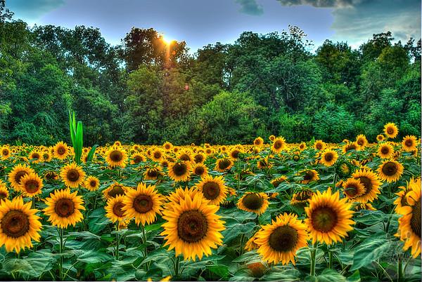 Yellow Springs, Ohio Sunflowers