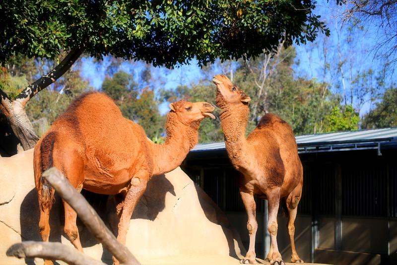 One hump camels.jpg