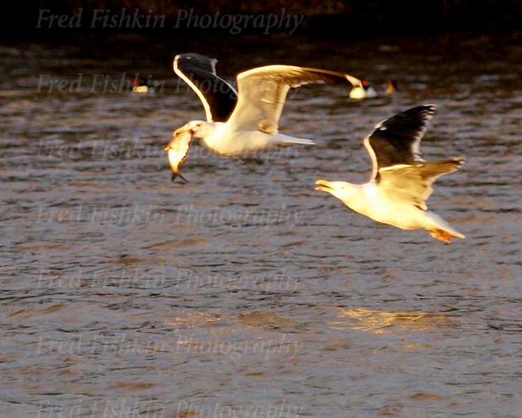 gulls fish large.jpg