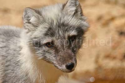 Fox, Wolf and Coyote photos