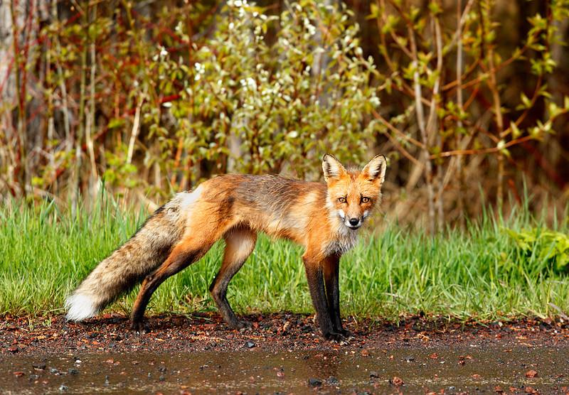 Locked In - Red Fox (Minnesota North Shore)