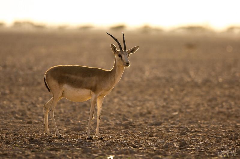 Gazelle (10).jpg