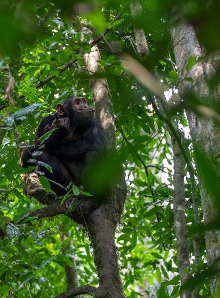 Uganda_T_Chimps-1539.jpg