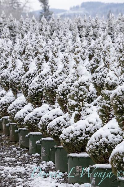 Picea glauca 'Conica' spirals - can yard in snow_4119.jpg