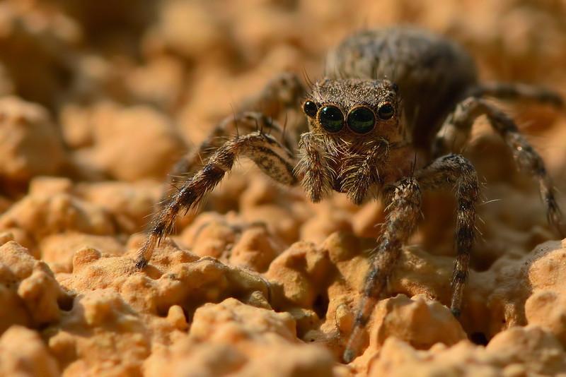 Goggled-guy-jumping-spider.jpg