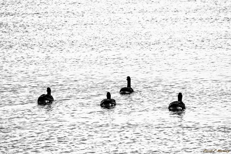 Flock Swim