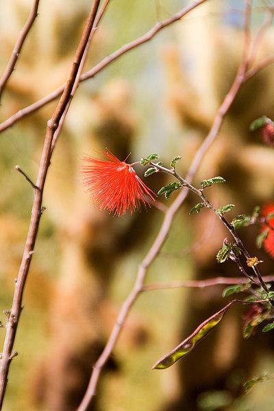 Fuzzy red desert flower