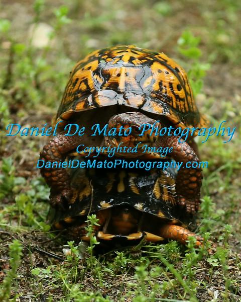 Box Turtle Romance in the Rain June 2014