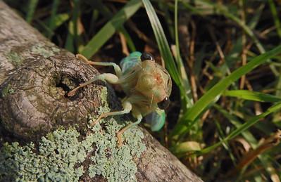 08.13.2021 Yard - Newly emerged cicada