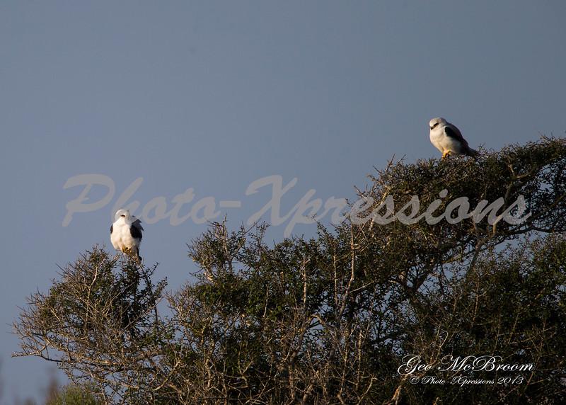 white tailed kites-print_6190.jpg