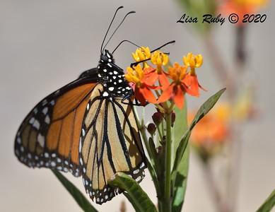 Yard Monarchs