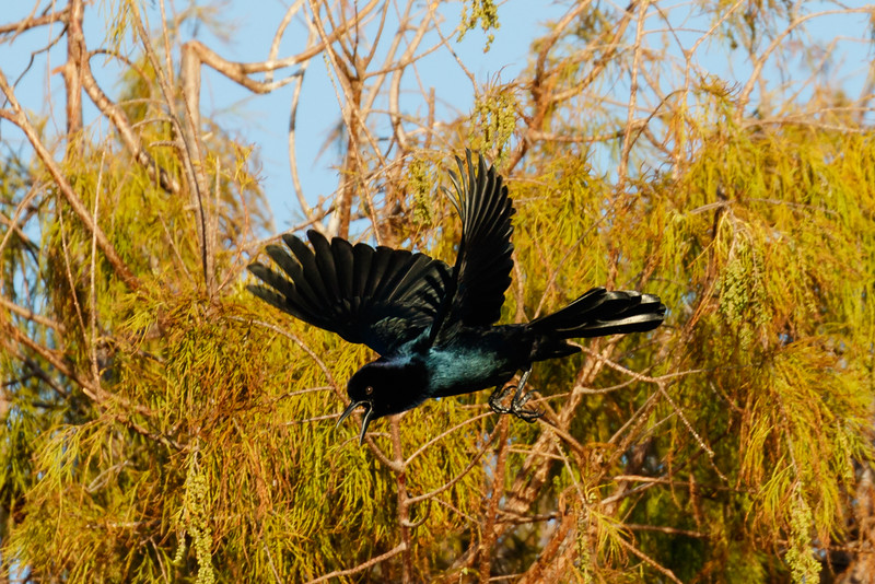 Boat Tailed Grackle in Flight-8335.jpg