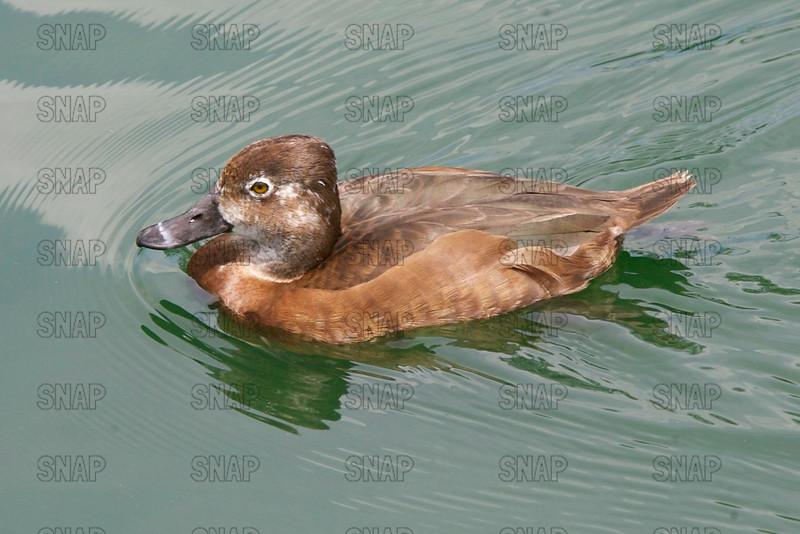 Redhead Duck (Aythya americana), Female.