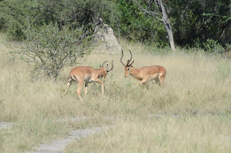 88 - Impala sparring - Chitabe - Anne Davis