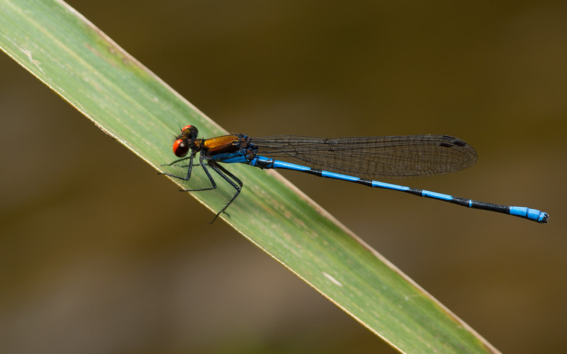 Dancer damselfly - Coenagrionidae: genus Argia, from Belize.
