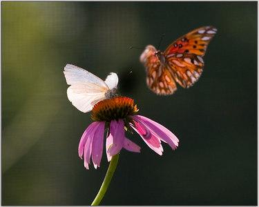 Butterflys Of July