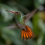 rufous tailed hummingbird, Amazilia tzacatl (Trochilinae, Trochilidae). Mindo Bonito, Mindo, Pichincha Ecuador
