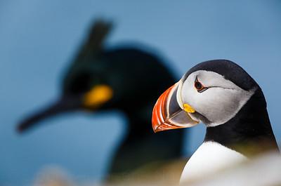 Hornøya birdcliff