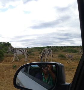 South Africa zebras