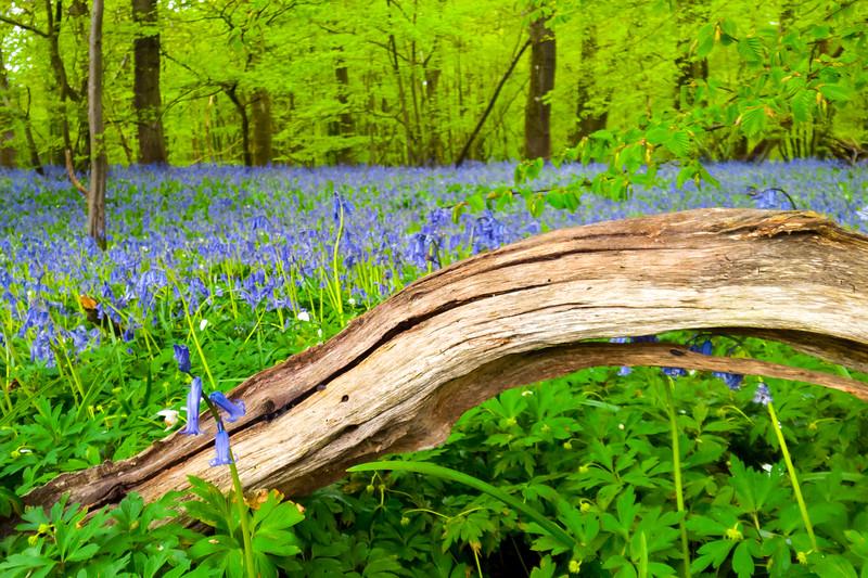 bluebellwoods-3.jpg