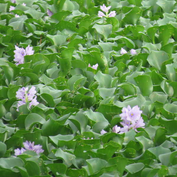 large fiels of water hyacinth.JPG