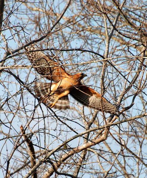 hawk flying.jpg