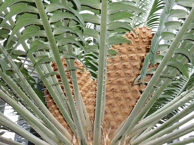 Cycadales - cycads