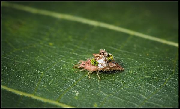 Franjegaasvlieg/Green Lacewings