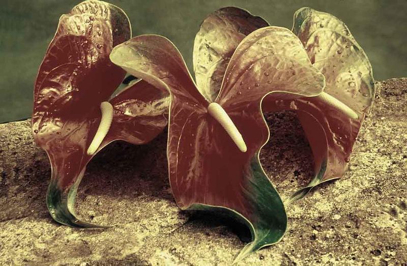 2019 new original flower antherium.jpg