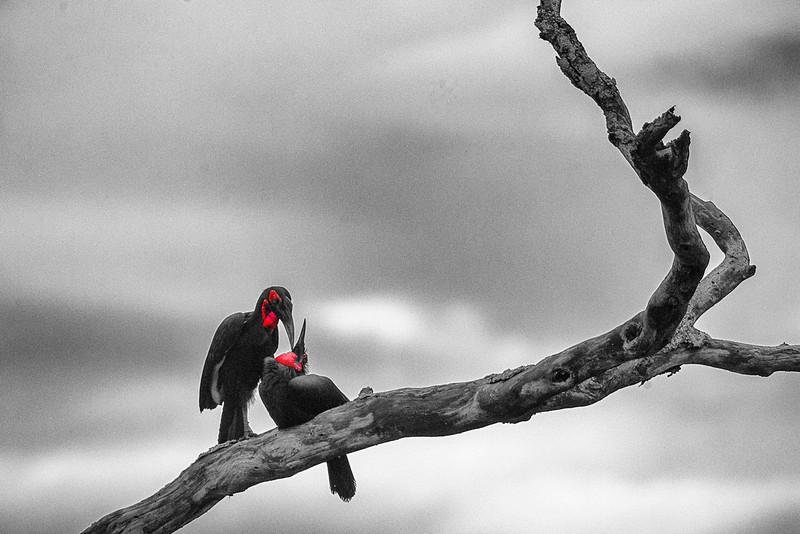 Serengeti_12_2013_Hornbill_3_FH0T8029-2.jpg