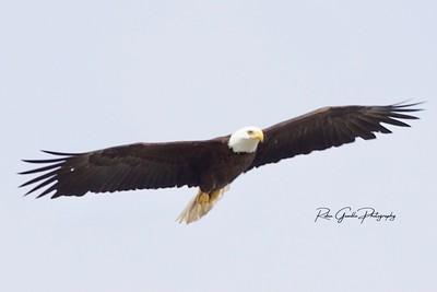 Eagle FL