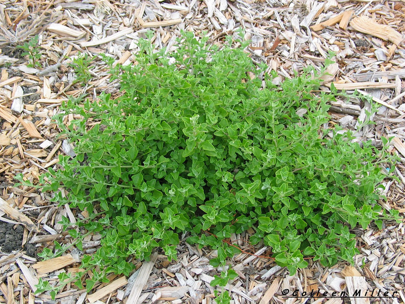 Tetragonia implexicoma / Bower Spinach Prostrate groundcover (.5h x 2m)