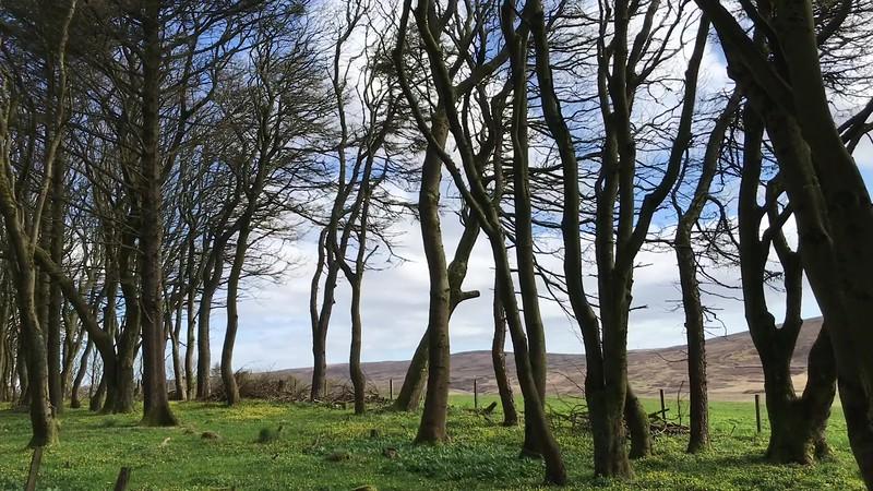 Kergord Woods in Spring, Shetland