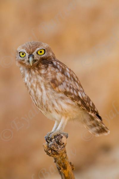 Little Owl   (Athene noctua) כוס החורבות