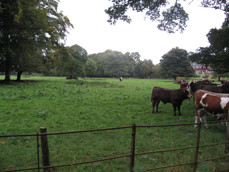 The empty field, excepting one cow coming to join his herdmates.